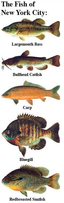 Saltwater fish nyc new york saltwater fishing for Saltwater fishing license nj